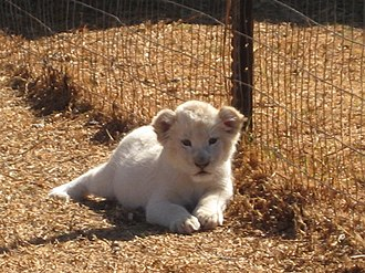 Timbavati Game Reserve - A white lion cub at Kromdraai, South Africa.