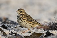 Wiesenpieper Meadow pipit.jpg
