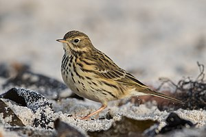 Meadow pipit - Image: Wiesenpieper Meadow pipit