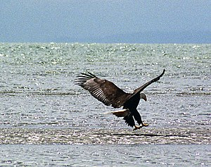 Satellite Beach, Florida - Wild bald eagle