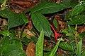 Wild Ginger (Globba atrosanguinea) (22841067387).jpg