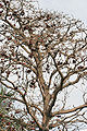 Wild almond (Sterculia foetida) canopy with flowers & fruits in Kolkata W IMG 3323.jpg