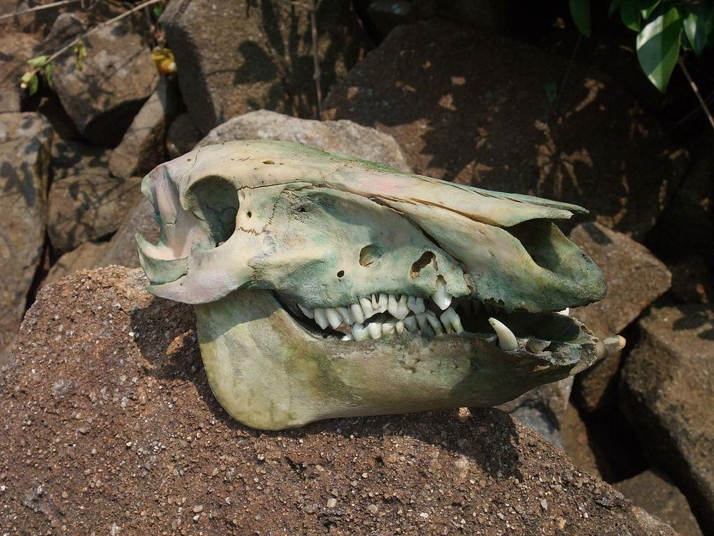File:Wild boar skull 1.jpg - Wikimedia Commons