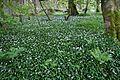 Wild garlic, Arran 02.jpg