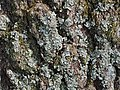 Willow Oak Quercus phellos Bark Closeup.JPG