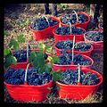 Wine grapes Oltrepo.jpg