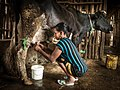 Woman milking cow, near Gonder.jpg