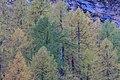 Woods of Larix Decidua near Borghetto di Sotto (m.a.s.l. 1897) - in Valchiavenna, Province of Sondrio, Lombardy, Italy - 2017-10-15.jpg