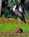 Woolly-necked Stork (Ciconia episcopus) Photograph By Shantanu Kuveskar.jpg