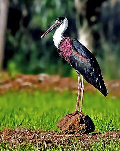 240px woolly necked stork (ciconia episcopus) photograph by shantanu kuveskar