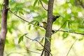 Worm-eating warbler (39816020270).jpg