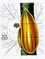 Wscurtis.carica.papaya.jpg