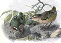 Xenicus gilviventris Keulemans 1.jpg