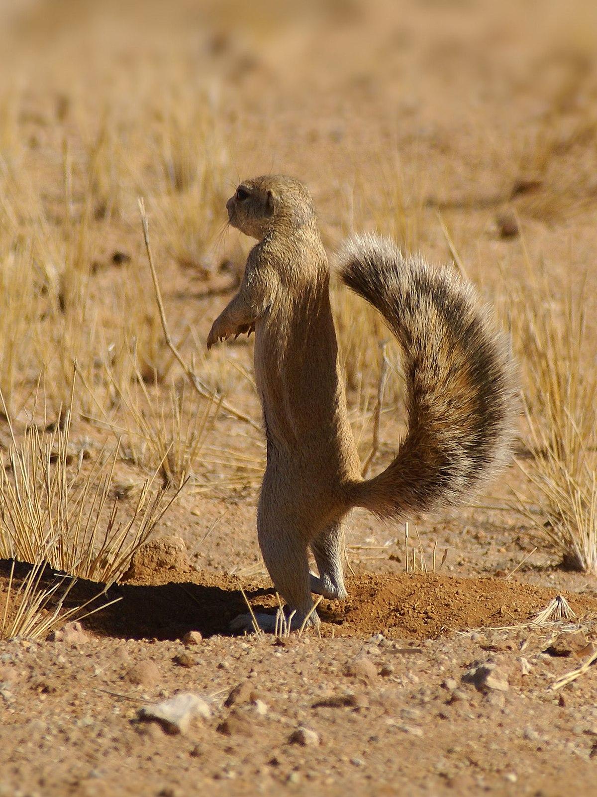 African ground squirrel - Wikipedia