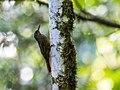 Xiphorhynchus chunchotambo - Tschudi's Woodcreeper.jpg