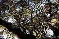 Y ascienden las ramas de esta carrasca, cual si quisieran escapar del suelo - panoramio.jpg