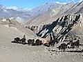 Yaks de l'Annapurna.jpg