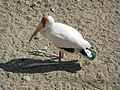 Yellow-billed Stork (Mycteria ibis) - panoramio.jpg
