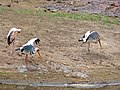 Yellow-billed Storks (Mycteria ibis) (12028108886).jpg