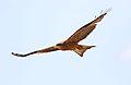 Yellow-billed kite, Milvus aegyptius, at Elephant Sands Lodge, Botswana (32248499985).jpg