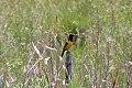 Yellow-rumped Marshbird (Pseudoleistes guirahuro) (8077697653).jpg
