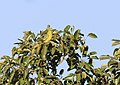 Yellow footed green pigeon img 3.jpg