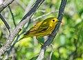 Yellow warbler male on Sandy Hook (70050).jpg