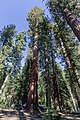 Yosemite National Park (California, USA), Mariposa Grove of Giant Sequoias -- 2012 -- 4587.jpg