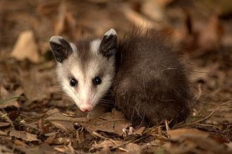Ameridelphia - A Virginia opossum