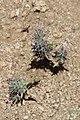 Ziziphora tenuior (Lamiaceae) (33134780696).jpg