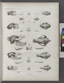 Zoologie. Mammifères. (Supplément.) Carnassiers (NYPL b14212718-1268472).tiff