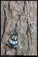 Zygaenidae (5812095256).jpg