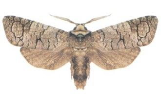 Cossidae - Zyganisus caliginosus belongs to an Australian genus of unclear affiliations.