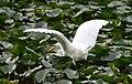 (1)Egret-6.jpg