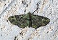 (1860) Green Pug (Pasiphila rectangulata) - Flickr - Bennyboymothman.jpg
