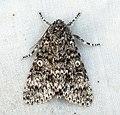 (2278) Poplar Grey (Acronicta megacephala) (5857062657).jpg