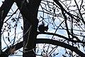 Білочка на тюльпанному дереві.JPG