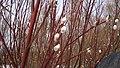 Верба расцвела. Кама. Кубассы. Чистопольский р-н. РТ. Март 2014 - panoramio.jpg