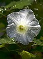 Вьюнок полевой - field bindweed - Convolvulus arvensis - поветица (14144975638).jpg