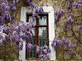 Глициния цветет - panoramio.jpg