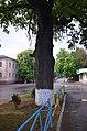 Дуб скельний на розі вулиці Лесі Українки та Драгоманова.jpg