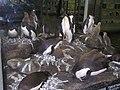 Колония императорских пингвинов.jpg