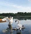 Лебеди на Усвяче.jpg