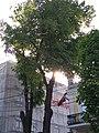 Липа звичайна у Хмельницькому. Пам'ятка природи 01.jpg
