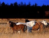 Лошади темная 3 малень wiki.jpg