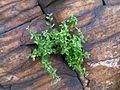 Мар'їн стрімчак. Cotoneaster melanocarpus.jpg