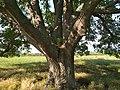 Най-старото дърво в общ. Септември.jpg