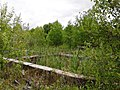 Плантация камыша 2 - panoramio.jpg