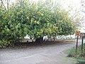Фиговое дерево в Турецком Национальном Парке.JPG