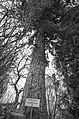 Ялина в Дендропарку імені Бенедикта Дибовського.jpg